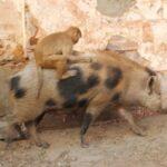 豚に乗る猿は親友で食べ物を分けてる?インド・ジャイプルで目撃!【アンビリバボー】